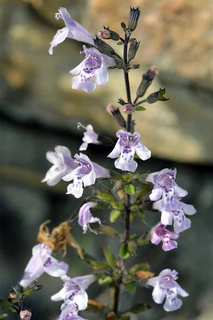 The the inside story on calamint, a little used, but attention-getting landscape plant: https://gardenerspath.com/plants/herbs/grow-calamint/