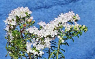 Discover the Unknown: Grow Calamint