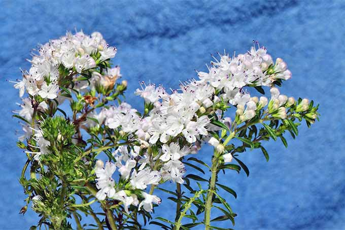 Calamint is sometimes cultivated as a medicinal herb for household use | GardenersPath.com