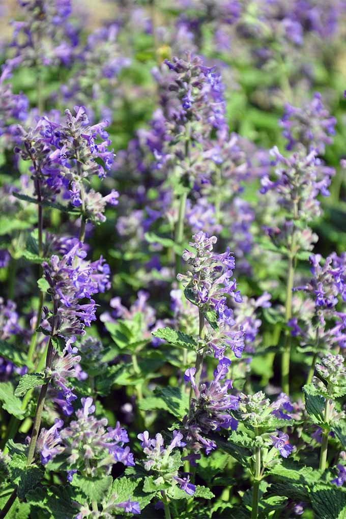 Learn how to grow beautiful calamint in your garden with tips and tricks from Gardener's path: https://gardenerspath.com/plants/herbs/grow-calamint/