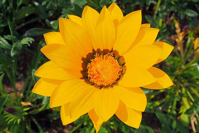 Get tips and advice for growing African daisy in your landscape | GardenersPath.com