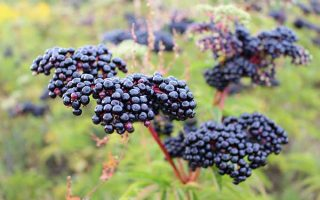 Choose the perfect elderberry bush for your yard from our list of Top 7 varieties | GardenersPath.com