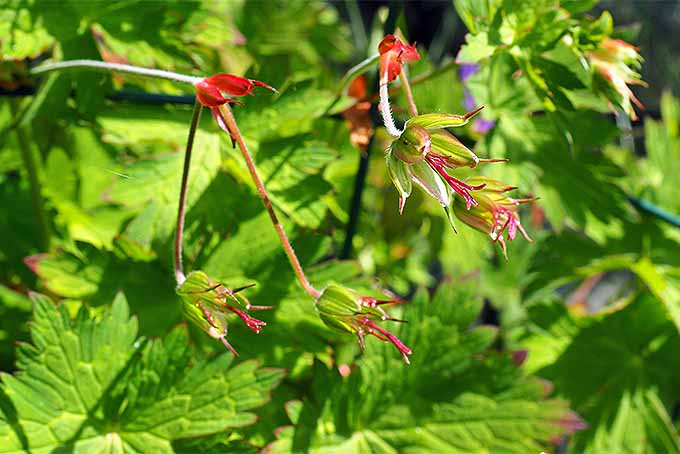 Seeds can be saved from cranesbill geraniums. | GardenersPath.com