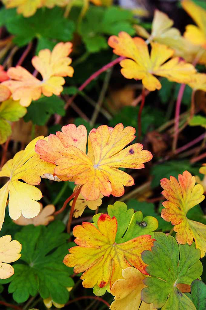 Pick plants for fall that add interest to the garden with changing leaves, once blossoms are finished. Read more: https://gardenerspath.com/plants/flowers/cranesbill-geranium/