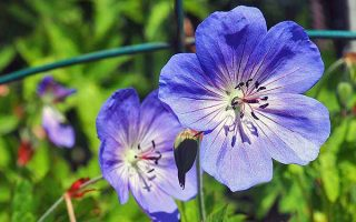 Cranesbill Geranium: How to Grow a Garden Classic