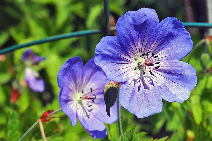 Learn to grow Cranesbills | GardenersPath.com