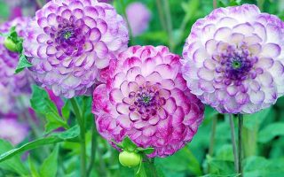 Pink and purple dahlias in the garden | GardenersPath.com