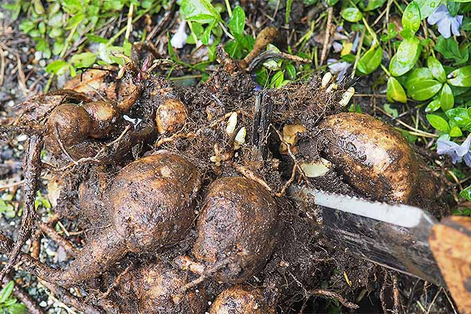 Learn how to divide and propagate dahlia tubers. | GardenersPath.com