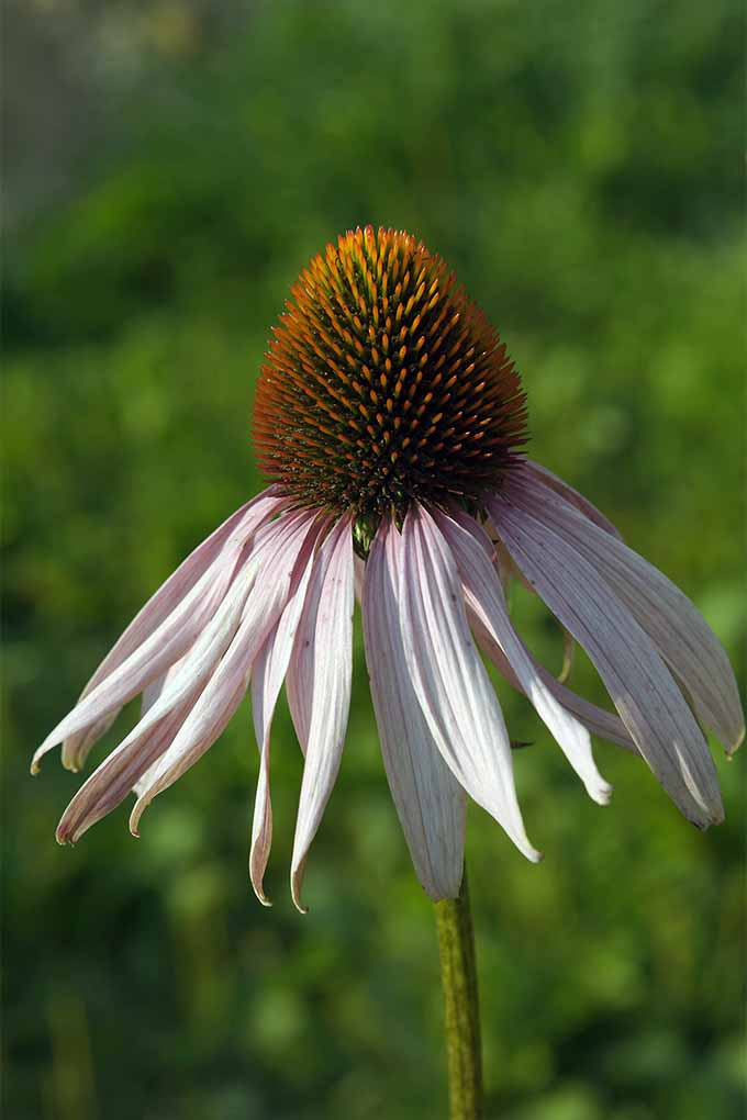 Get tips and tricks for growing coneflower, also known as echinacea, which is an easy-to-grow native American species of wildflower: https://gardenerspath.com/plants/flowers/guide-growing-echinacea/