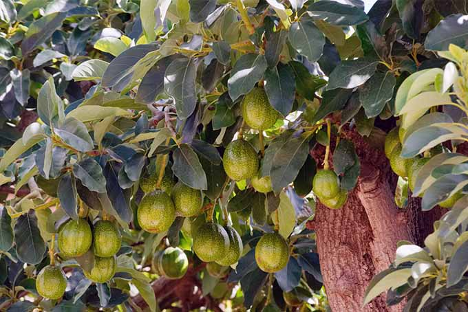 Grow avocados in your backyard and enjoy the delicious fruit any time you'd like | GardenersPath.com