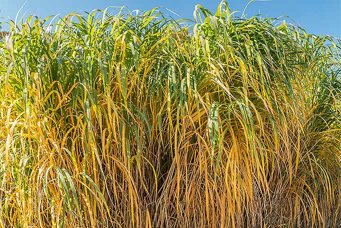 Two-tone giant miscanthus. | GardenersPath.com