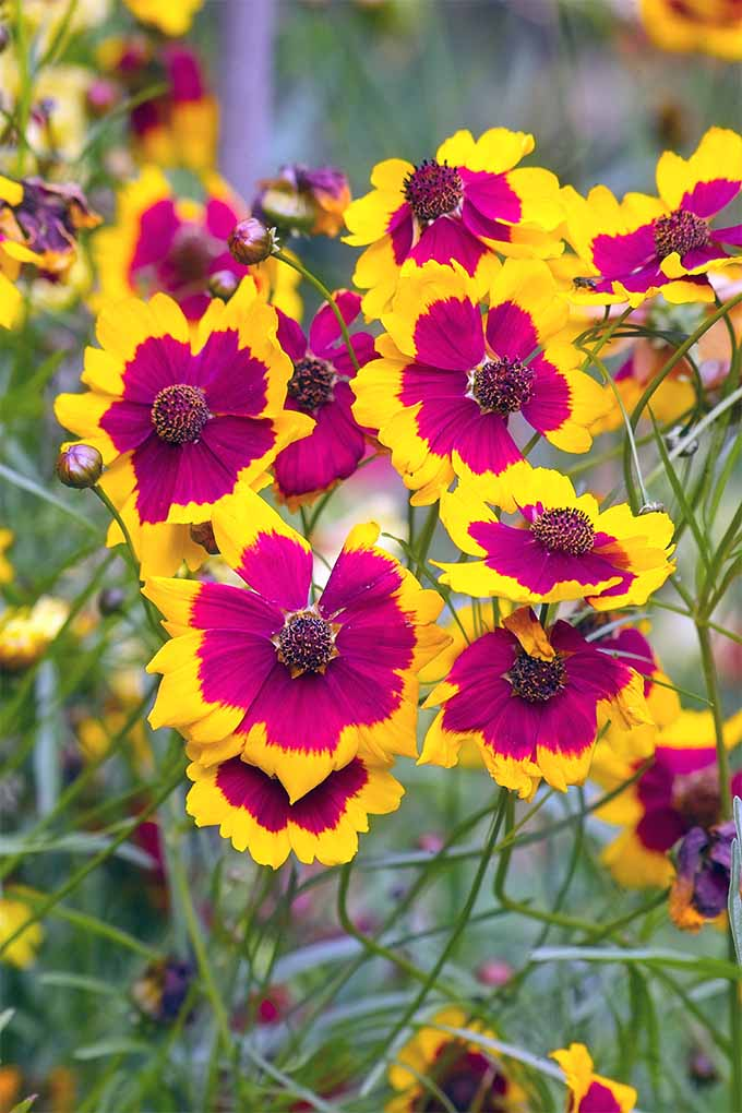 Get expert advice for adding the native American wildflower coreopsis to your garden: https://gardenerspath.com/plants/flowers/how-grow-coreopsis/