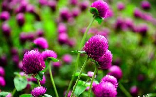 Globe amaranth comes in a variety of colors, perfect for fresh and dried flower arrangements. | GardenersPath.com