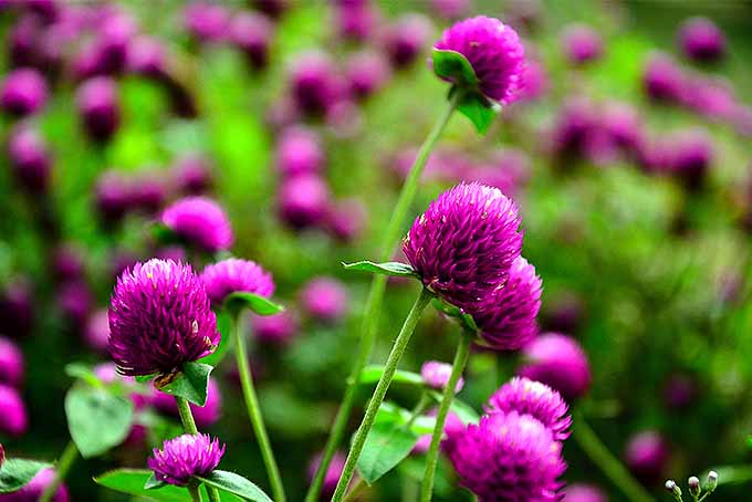 Globe amaranth comes in a variety of colors, perfect for fresh and dried flower arrangements.   GardenersPath.com