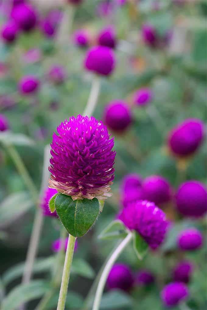 Sometimes confused with clover, this is globe amaranth- follow the link to learn how to grow it: https://gardenerspath.com/plants/flowers/globe-amaranth/