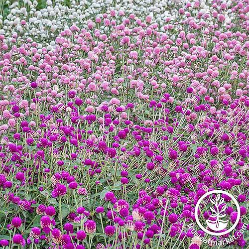 White, pink, and magenta gomphrena | GardenersPath.com