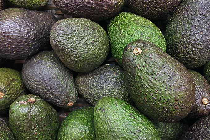 Get tips and ideas for how to grow avocado trees in your yard | GardenersPath.com