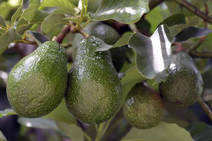 Alligator pears are delicious in so many dishes, and you can grow them in your own garden | GardenersPath.com