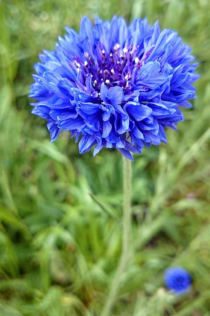 Cornflowers - a beautiful plant