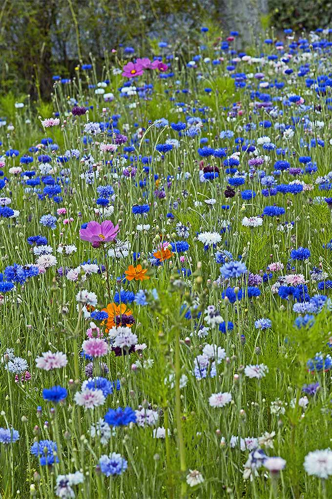 Want a meadow full of multicolored bachelor's buttons of your very own? We share our growing tips: https://gardenerspath.com/plants/flowers/bachelors-button/