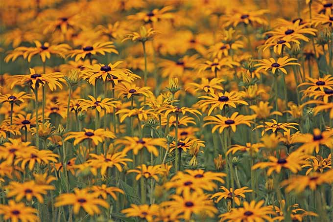 Coneflowers are drought-tolerant and grow in almost any soil | GardenersPath.com
