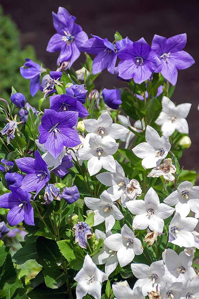 How to grow balloon flower gardeners path are you growing beautiful blue and white balloon flowers we share our tips https mightylinksfo