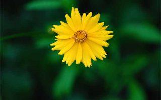 Bright yellow coreopsis, or tickseed, bloom | GardenersPath.com