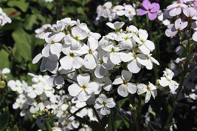 White dame's rocket blossoms. | GardenersPath.com