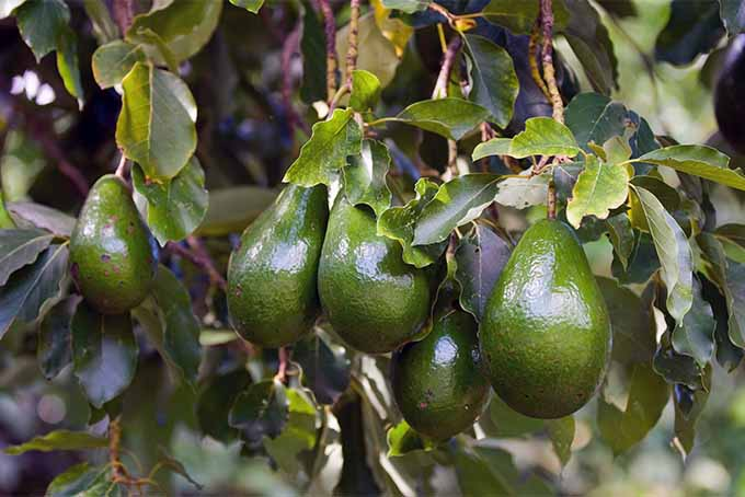 In the right environment, you can grow avocado trees and enjoy delicious fruit right from your backyard | GardenersPath.com