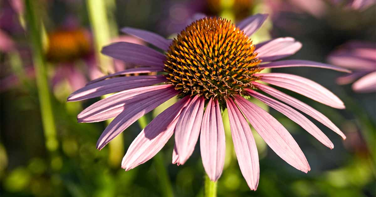 The 9-Second Trick For Where Do Coneflower Seeds Come From
