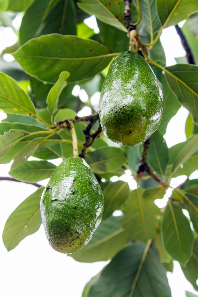 How to grow avocados gardener s path for Grow your own avocado tree from seed