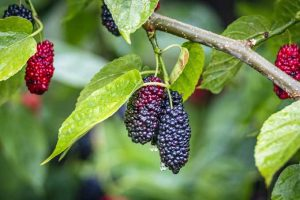 Grow Your Own Gorgeous Mulberry Trees