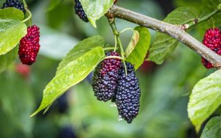 A close up photo of mulberries hanging on tree branches along with green leaves | Gardener's Path