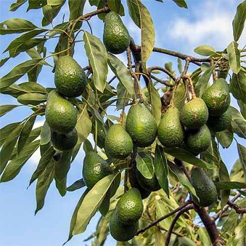 Hass Avocado Tree