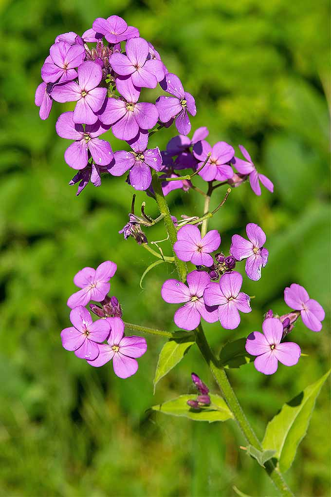 How to grow dames rocket in your garden gardeners path hesperis matronal or dames rocket is a lovely flower with a bad reputation mightylinksfo
