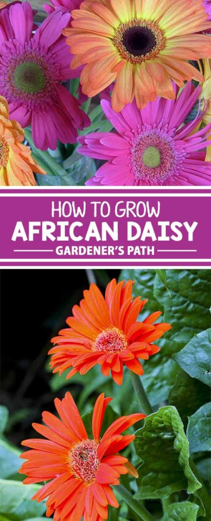 If your garden needs an explosion of colorful flowers that bloom all summer long, consider African daisy, also known as cape marigold. Learn how to grow this import from South Africa in the Gardener's Path growing guide.