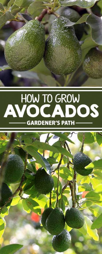 "Thinking of suspending an avocado pit over water in hopes of producing some of the buttery green fruit? Learn whether this is a good idea, and other tips and tricks for growing ""alligator pears"" in your own backyard."