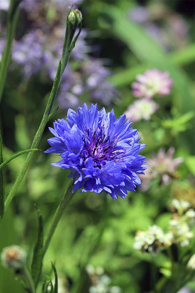 Grow beautiful blue annuals. | GardenersPath.com