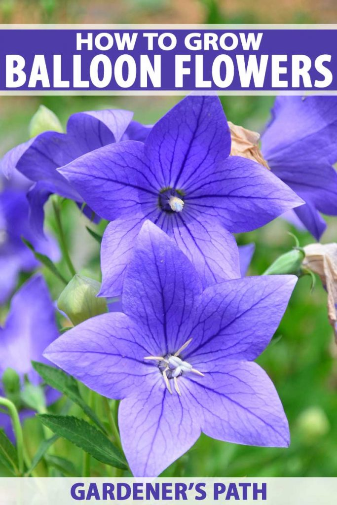 Close up of two blue-purple balloon flowers in bloom.