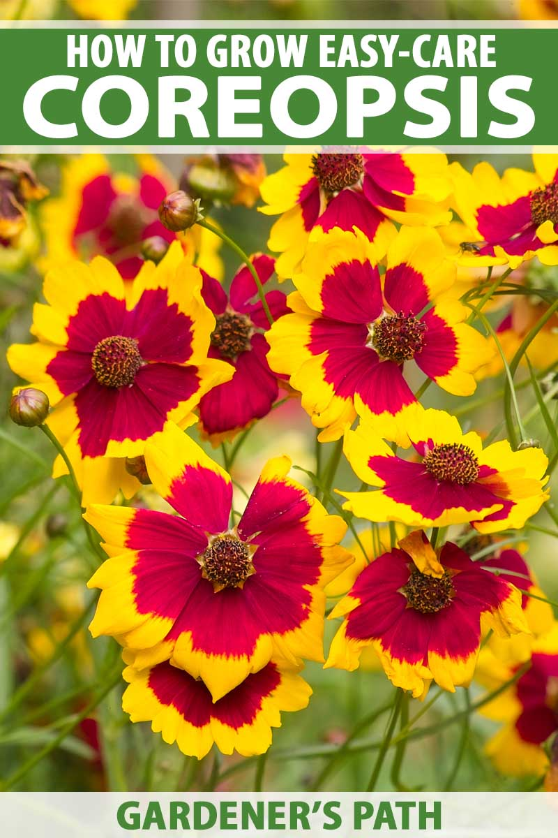 Close up of the colorful blooms of a red and yellow coreopsis flower.