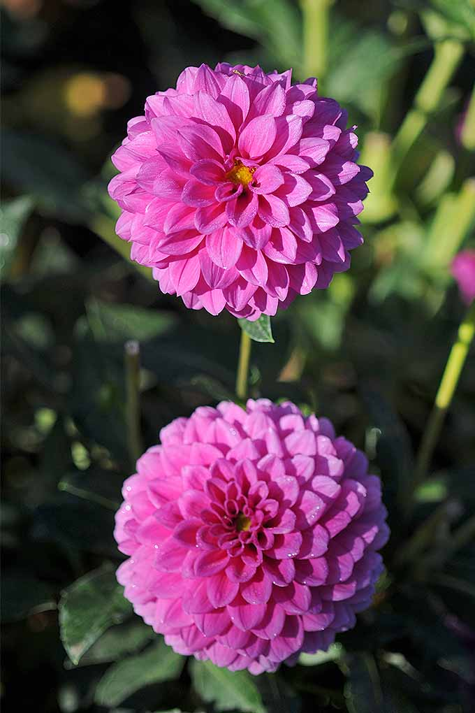 Dahlias come in a variety of colors, petal patterns, and sizes. Check out our tips for adding these late-summer gems to your garden: https://gardenerspath.com/plants/flowers/delightful-dahlias/