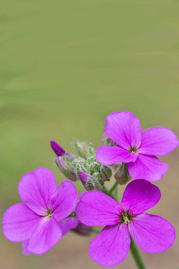 Learn how to grow Dame's Rocket (and how to differentiate it from phlox) with our tips: https://gardenerspath.com/plants/flowers/grow-dames-rocket/
