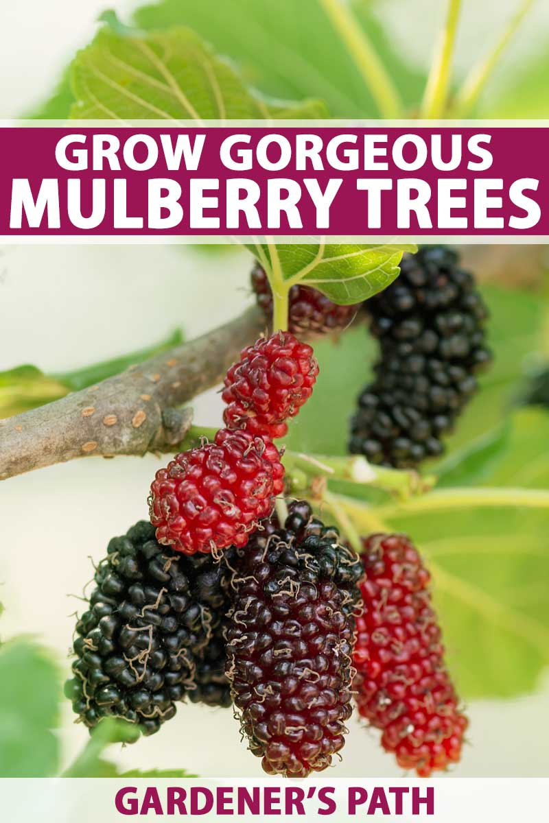 A close up of ripe purple and red mulberries hanging from the branches of a the tree.