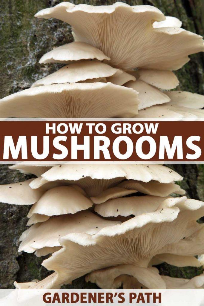 Oyster Mushrooms om trunk of beech tree