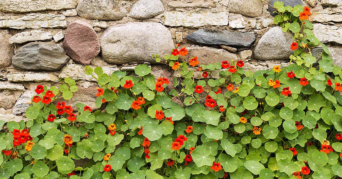 Indicators on How Long Do Nasturtium Seeds Take To Germinate You Should Know