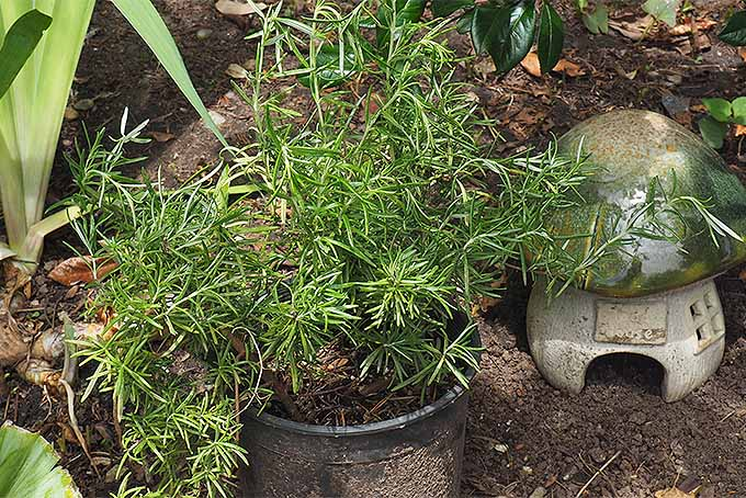 Learn how to propagate rosemary. | GardenersPath.com