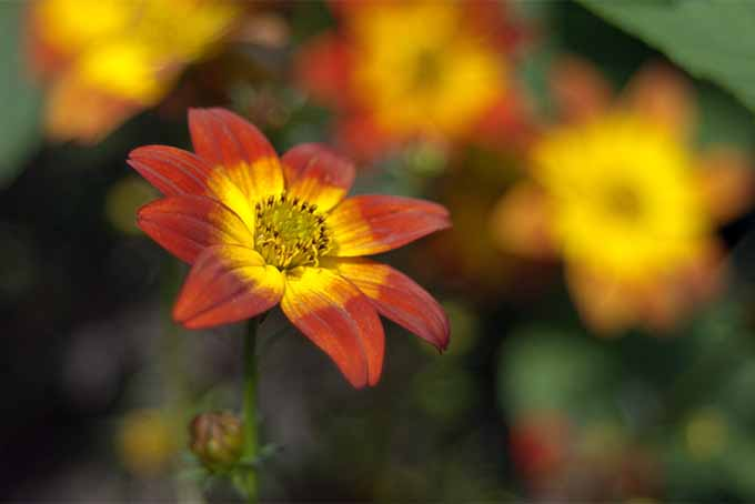 Grow drought-tolerant coreopsis or tickseed in your own garden | GardenersPath.com