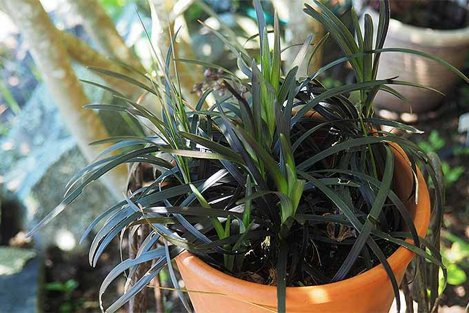 Give transplants and seedlings time to mature in pots. | GardenersPath.com
