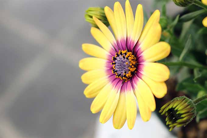 Two entirely different species are called African daisy | GardenersPath.com