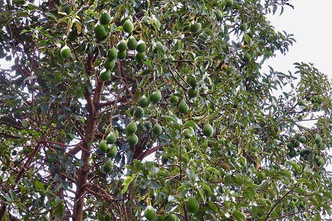 Grow avocados on a tree in your own backyard | GardenersPath.com